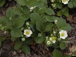 Garden Strawberry (Fragaria ananassa)